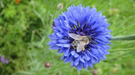 Bienen – die erstaunlichsten Wunderwesen